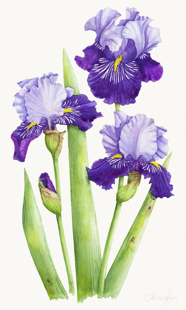 05-photoshop-bearded-iris-allison-langton